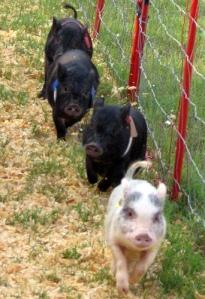 Bébés cochons vietnamiens./ Brent Moore