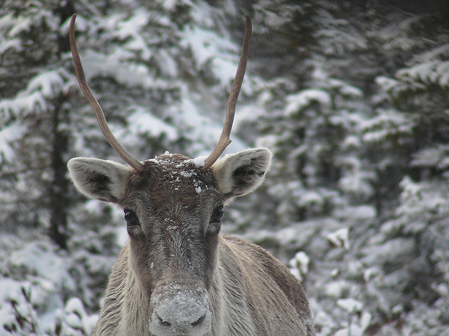 Caribou./ Photo Peupleloup