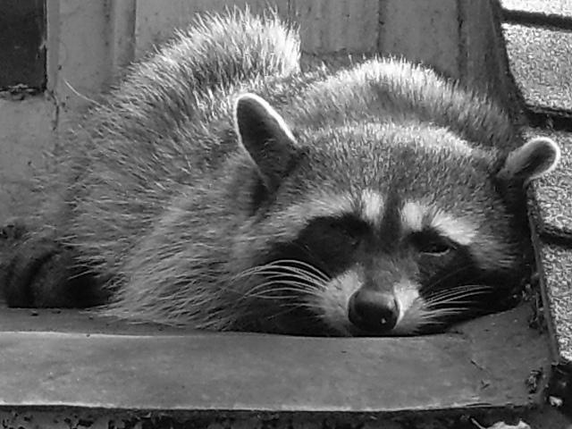 Se méfier du racoon qui dort./ Photo Trevor Blake